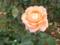 山下公園で撮影したバラ