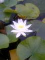 郡上八幡にて ハスの花がかわいらしい