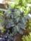 近所のおばあちゃまが育てた、トウガラシの一種