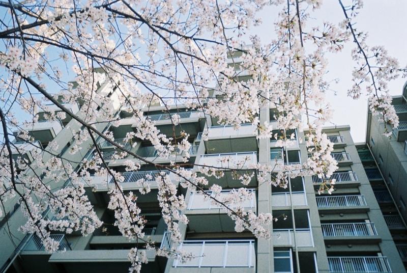 前に住んでいたマンションと、駐車場の桜