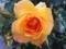 要塞近郊で撮ったバラ