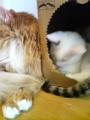 [宮城県]猫カフェ ねこ・ねこ・ねこ8 090129_16272
