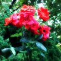 [twitter] テスト投稿:情熱の真っ赤な薔薇