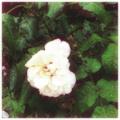 [twitter] Photo:はてなFotolifeへの投稿「純潔の白い薔薇」