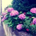 [twitter] Photo:はてなFotolifeへの投稿   「今朝の紫陽花vol.1」