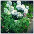 [twitter] Photo:はてなFotolifeへの投稿 「今朝の紫陽花vol.2」