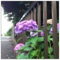 [twitter] Photo:はてなFotolifeへの投稿「今朝の紫陽花vol.3」