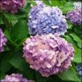 [twitter] Photo:はてなFotolifeへの投稿 「プレイバック〜紫陽花 その参:2012'」