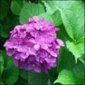 [twitter] Photo:はてなFotolifeへの投稿 「プレイバック〜紫陽花 その弐:2012'」