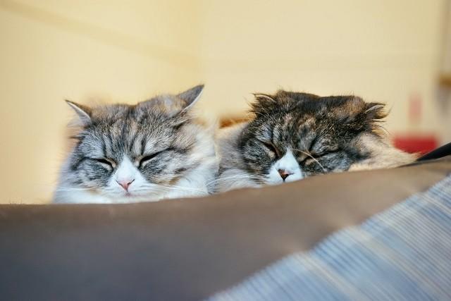 類似した2匹の猫