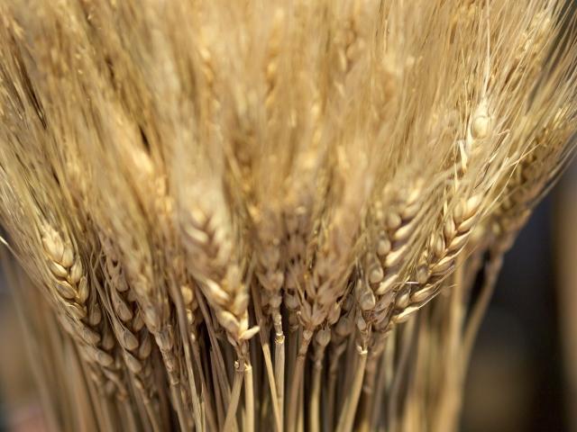 もち麦の稲