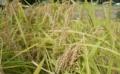 自家製米栽培