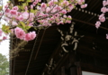 京都新聞写真コンテスト 咲ほこる