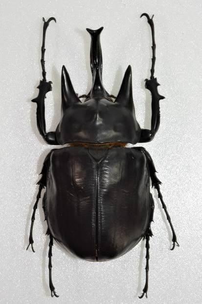 レックスゾウカブト(アクティオンゾウカブト)の標本