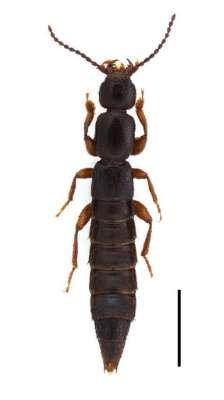 ヒバゴンと名付けられた新種昆虫、ヒバヤマヒメコバネナガハネカクシ