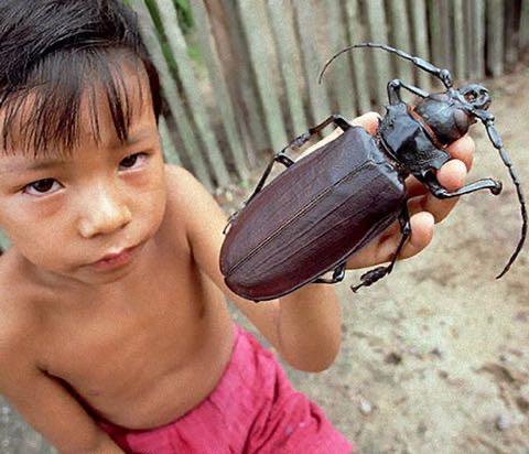 子どもの手に乗るタイタンオオウスバカミキリ