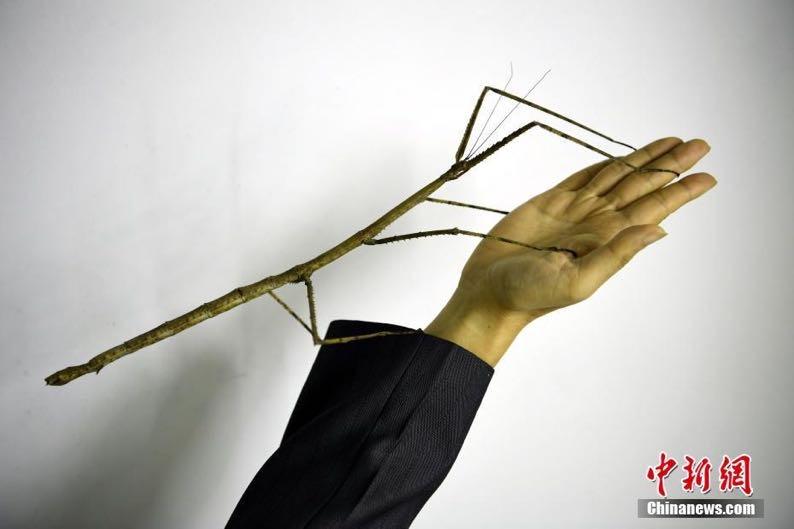 世界最長の昆虫「フリーガニストリア・チャイネンシス・ツァオ」