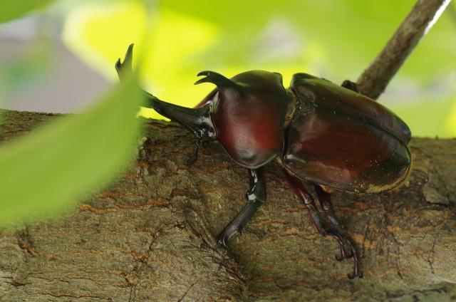 木に止まるカブトムシ