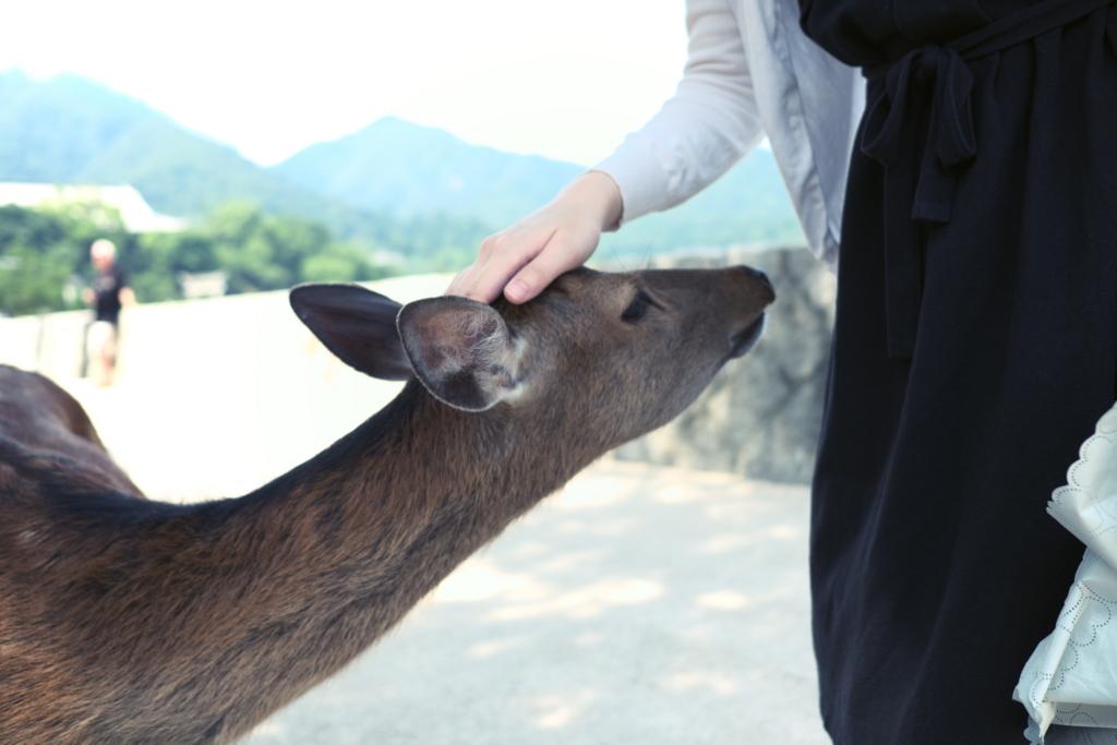 広島の厳島神社にいる鹿に戯れる女性