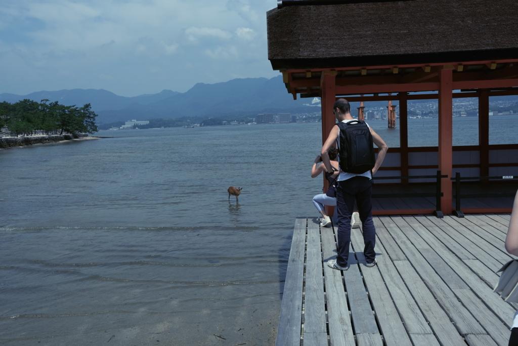 厳島神社がある宮島の海に入っている鹿
