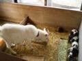 [稲葉山]もるもるに侵入するヤギ