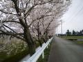 [植物]戸出の桜並木