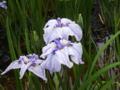 [植物]花菖蒲