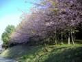 早咲きのサクラ(磐田市)