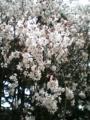 新宿御苑内、これは桜。でしょう?