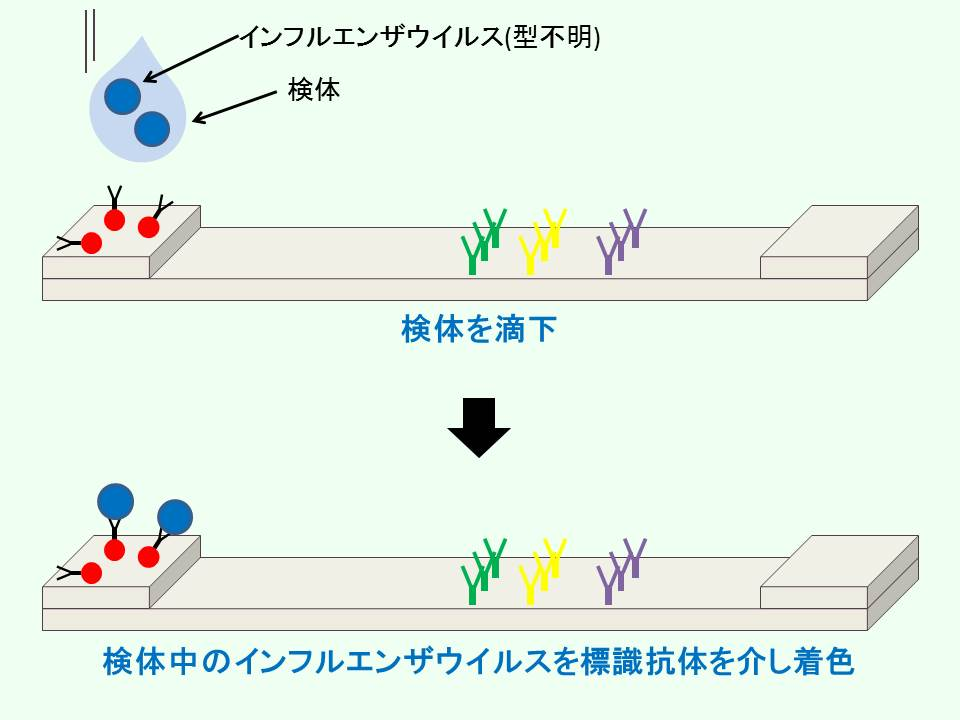 イムノクロマト法でのインフルエンザウイル染色