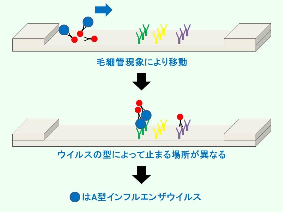 イムノクロマト法でのインフルエンザウイルスの移動