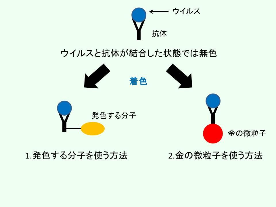 インフルエンザウイルスの着色法のモデル