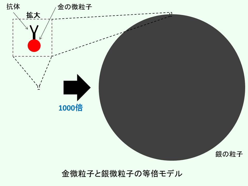 金の微粒子と銀の粒子の等倍モデル