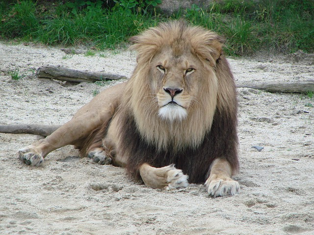 地面に座った雄ライオン