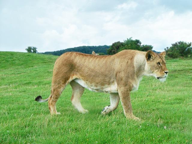 草原を歩いている雌ライオン