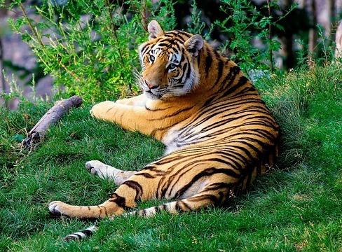 草の上にいるトラ
