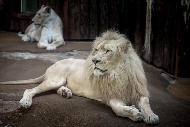 ホワイトライオンのオスとメス