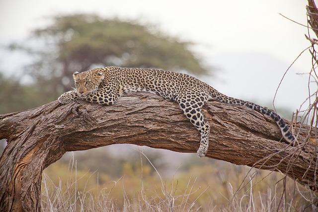 木の上で寝そべっているヒョウ