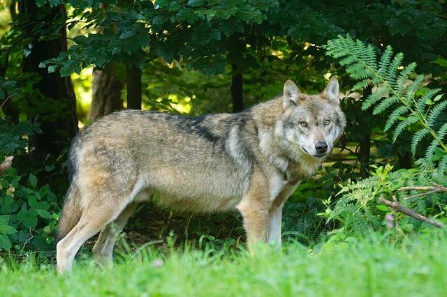 草むらにいるオオカミ