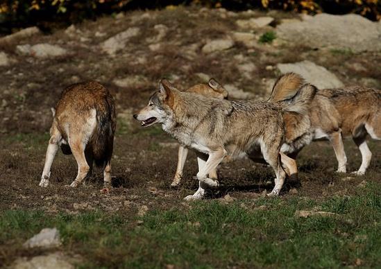 3匹のオオカミ