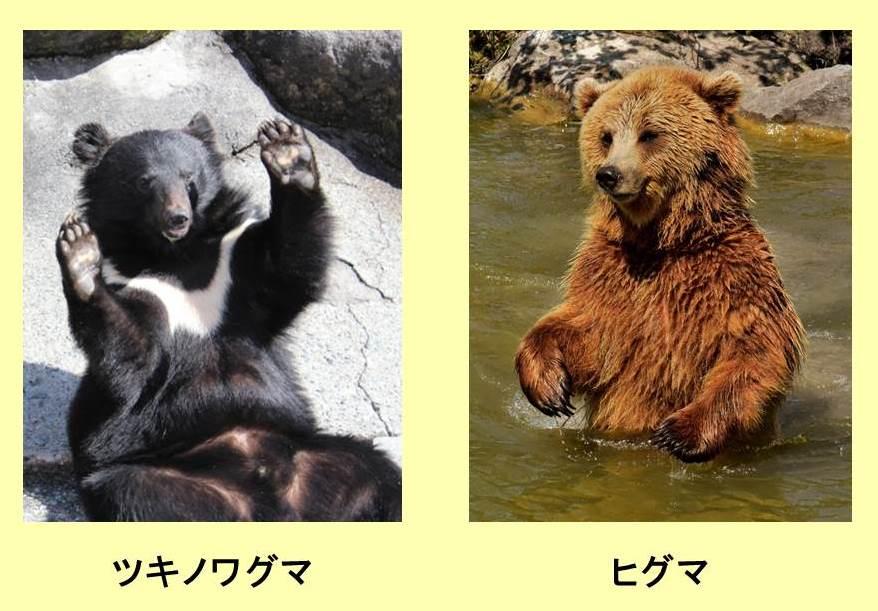 ツキノワグマとヒグマが立ち上がった写真