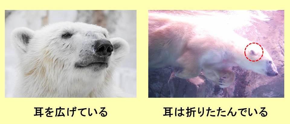 ホッキョクグマの顔と水中のホッキョクグマの写真