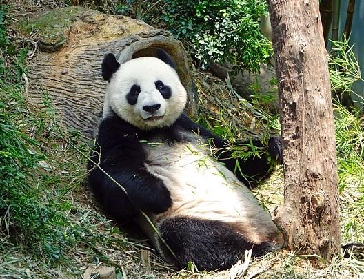 倒木にもたれかかるパンダ