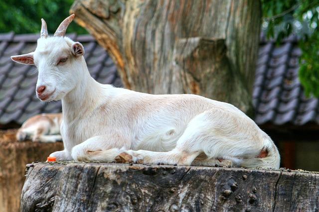 切り株に座った白いヤギ