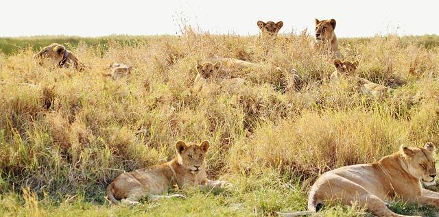 草むらに座っている複数のメスライオン
