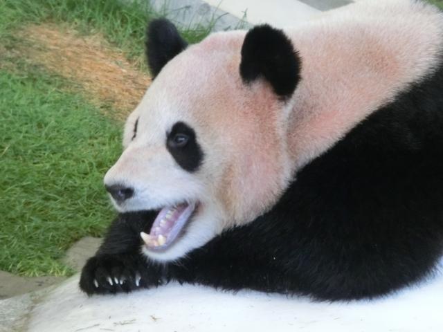 口を開けたパンダ