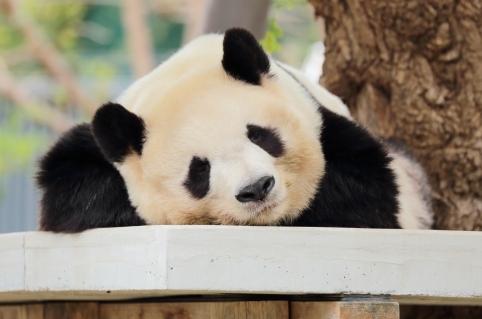 台に寝そべったパンダ