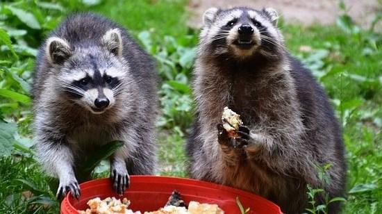 エサを食べる二匹のアライグマ