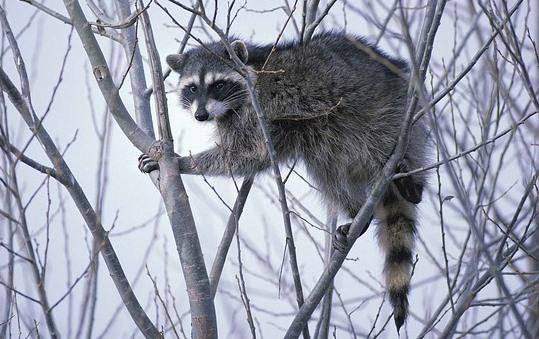 木の枝にしがみくアライグマ