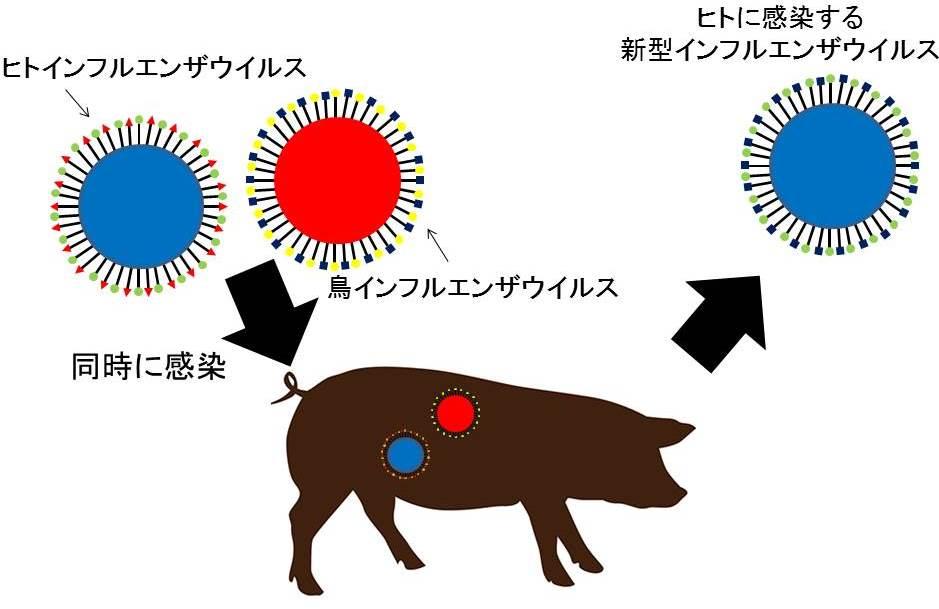 ブタにインフルエンザウイルスが感染する模式図